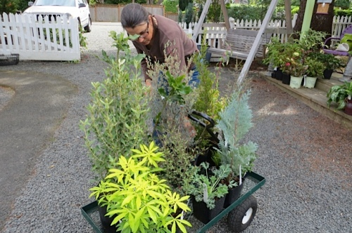 Pam totalling my purchases, including a few evergreens (or ever-silver, ever-golds).
