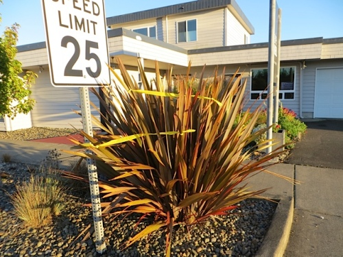 This phormium by Powell Gallery must go...it pokes into the sidewalk area.