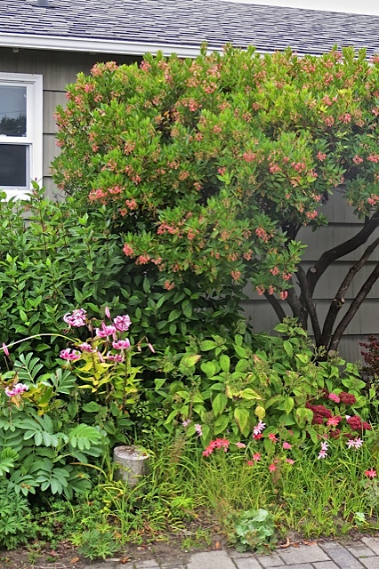 in soft grey light:  a late lily, pink Arbutus flowers, Sedum 'Autumn Joy' and two tones of pink Schizostylis.
