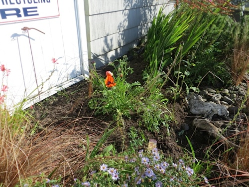 The oriental poppies are reblooming.