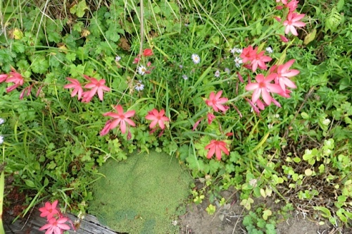 Schizostylis and a little bun of a Dianthus at Wiegardts