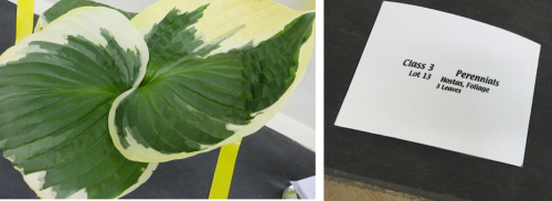 and another:  name of Hosta, please?