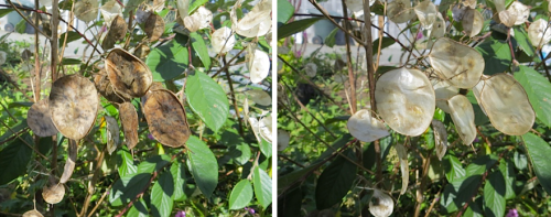 before and after: Lunaria
