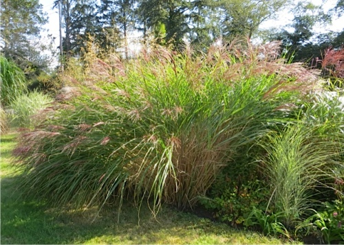 This miscanthus has such a nice flowing shape.