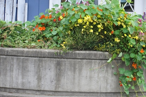 another planter:  I pulled the nasturtium over the smashed plants