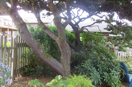 old beach pine in back garden (SW corner, I think)