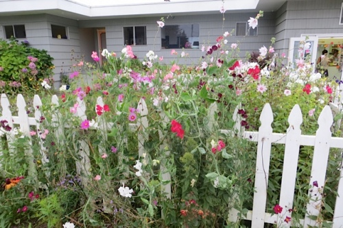 The sweet peas waited all summer to finally get good!