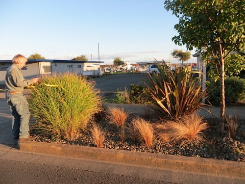 I want to see the last of this grass and Phormium by Pelicano Restaurant's parking lot.