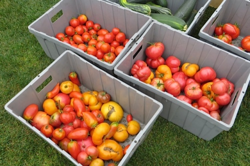 heirloom tomatoes from River Rock Farm