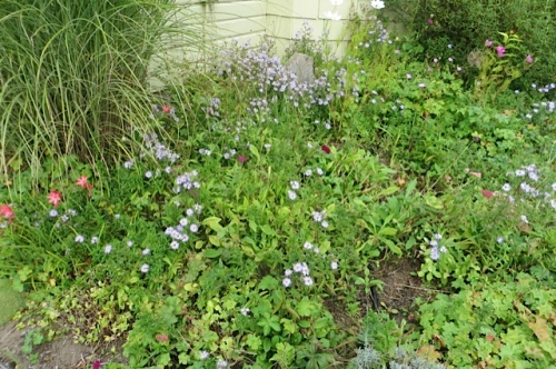 Now the blue Bad Aster that escaped my pulling is putting on a pleasant show.