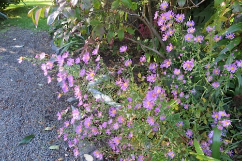 Of course, this pretty pale purple aster does not spread thuggishly!