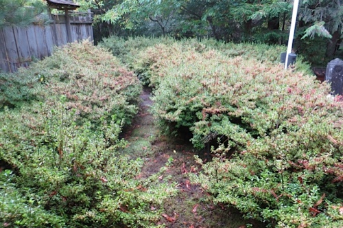 azalea cloud gone all spiky.  Lisa said the path had disappeared before she clipped back...