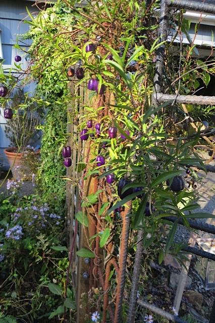 Billardia longiflora