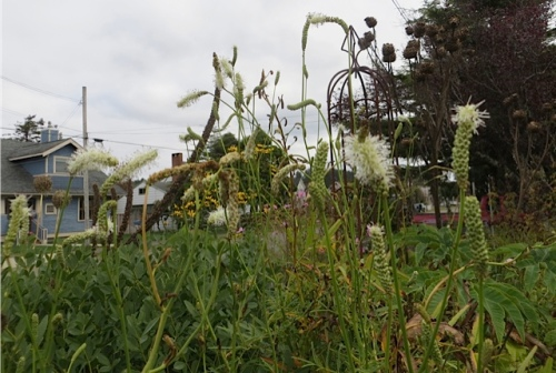 white sanguisorba