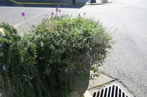 i DID feel eager to cut all the Nepeta (catmint) back and we did.