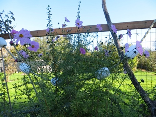 near the debris pile, cosmos as high as the fence