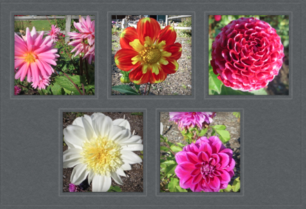 In Peninsula Landscape Supply's u-pick dahlia garden