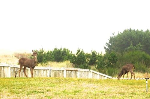 Deer who visit daily.