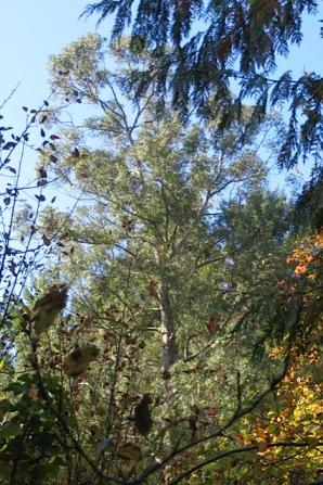 the eucalyptus next door