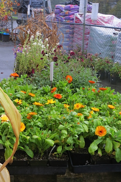 some fall colour including two kinds of chocolate cosmos and some calendula