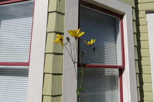 cute Coreopsis 'Flower Tower' by the front door