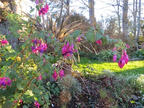 another hardy Fuchsia