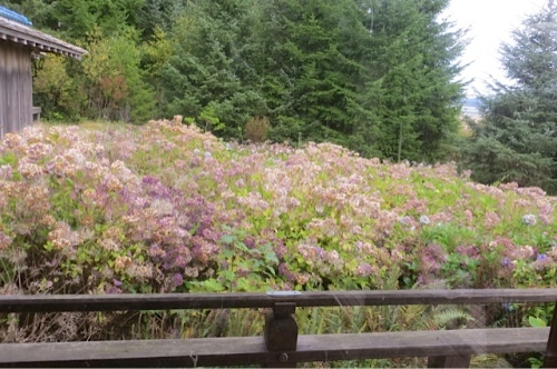 They run all the way to in front of the guest house, where the hydrangea field becomes even wider...