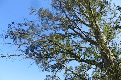 alder, a brittle tree