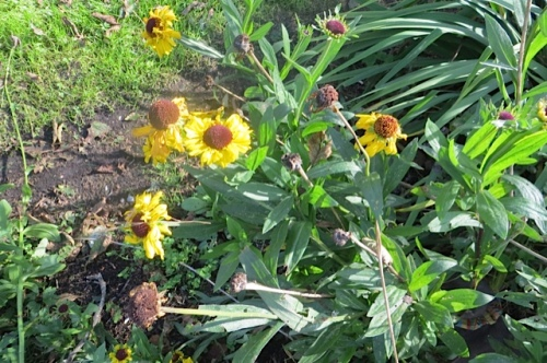 cheerful Helenium 'Sabin's Early'