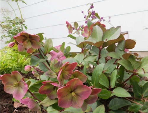 I think it is crazy that a hellebore is blooming now!