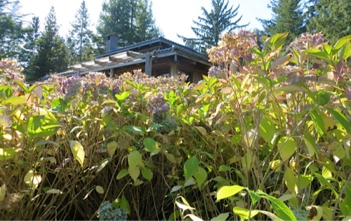 2:39 PM:  unpruned hydrangeas between me and the house