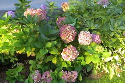 sunlit hydrangeas in the A Frame's garden