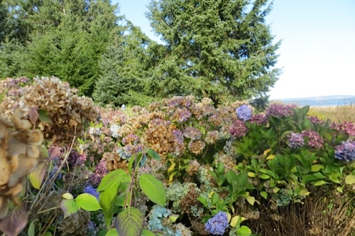 2:40 PM; I started to glimpse the top of Allan's hat across this group of hydrangeas.