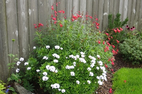 Osteospermum and Penstemon