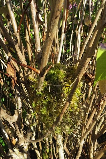 2:43 PM:  I discover a mossy birdnest