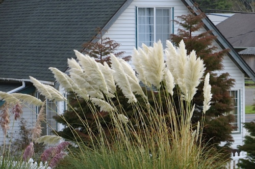 pampas grass on lower lawn (telephoto, with neighbour house closer than it is)