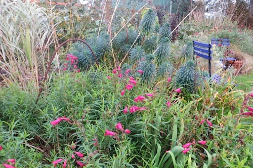 Penstemon and Euphorbia