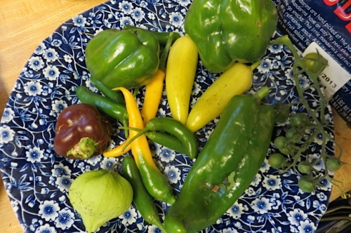 peppers:  bell, Chocolate Beauty, Cowhorn Cayenne, Golden Cayenne, Serrano