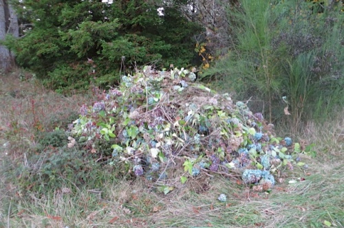 6:18 PM, the pile of debris from 30 hydrangeas