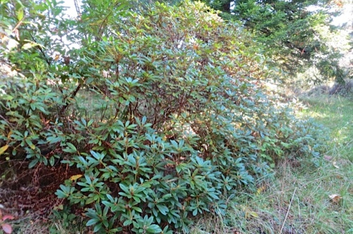 by the green road: an old rhododendron