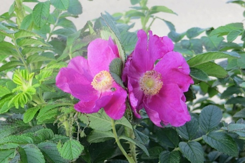 late blooms on Rosa Rugosa