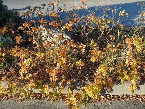 rugosa rose autumn colour
