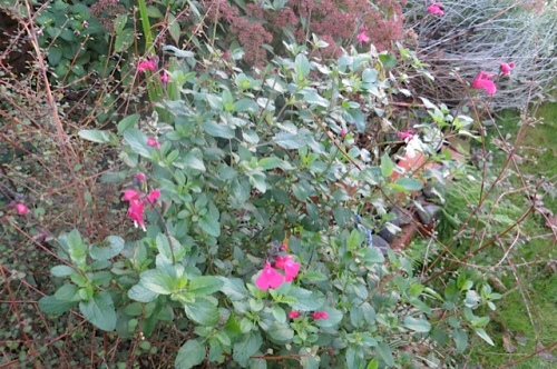 late blooming red Salvia something or other