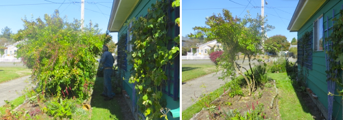 forsythia before and after