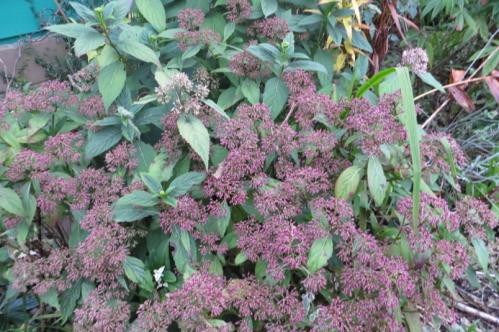 front garden: Dichroa febrifuga