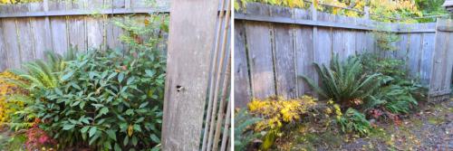 I lightened up a leatherleaf viburnum behind the gate