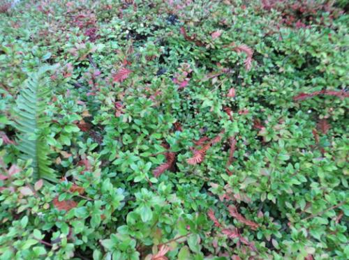 azalea foliage