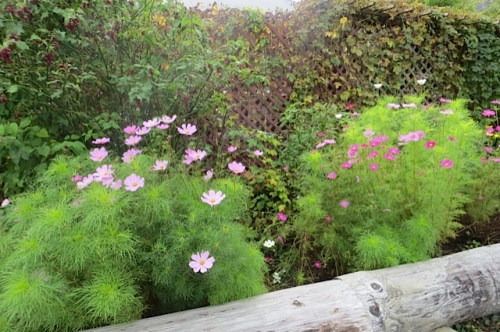 Sheltered from the south wind by the restaurant deck and lattice wall, these cosmos are still lush in mid October.