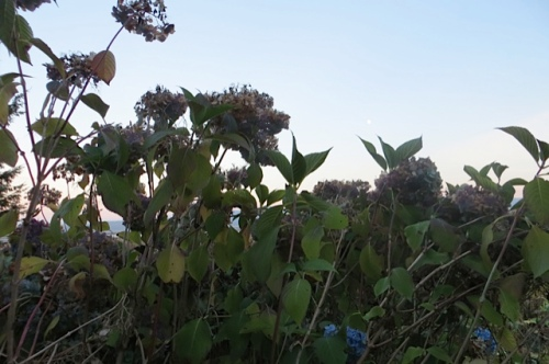 6:07 PM: still pruning hydrangeas taller than me.