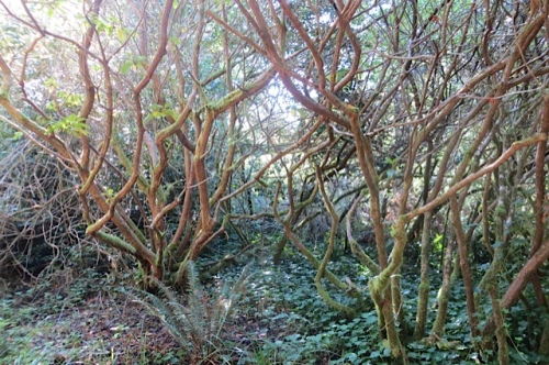 old rhododendrons by where we parked at the start of the green road